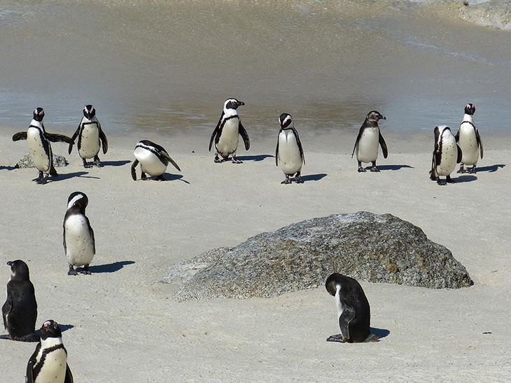 Les pingouins en Afique du Sud